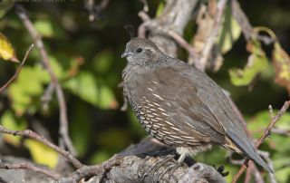 California Quail hen perched in a tree, Davis County, Utah
