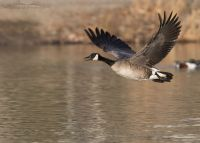 Adult Canada Goose calling in flight over a pond, Salt Lake County, Utah