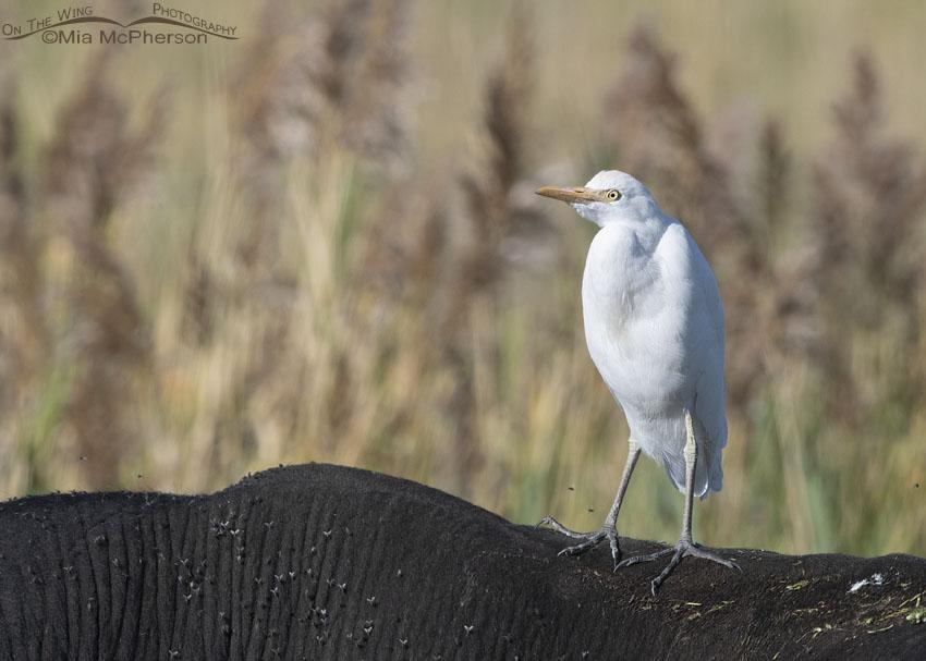 Cattle Egret in the marsh at Farmington Bay WMA, Davis County, Utah
