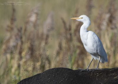 Cattle Egret perched on a cow's back with hundreds of flies, Farmington Bay WMA, Davis County, Utah