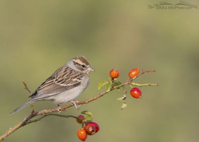 Chipping Sparrow on wild rose, Box Elder County, Utah
