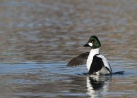 Common Goldeneye drake on the last day of 2017, Salt Lake County, Utah