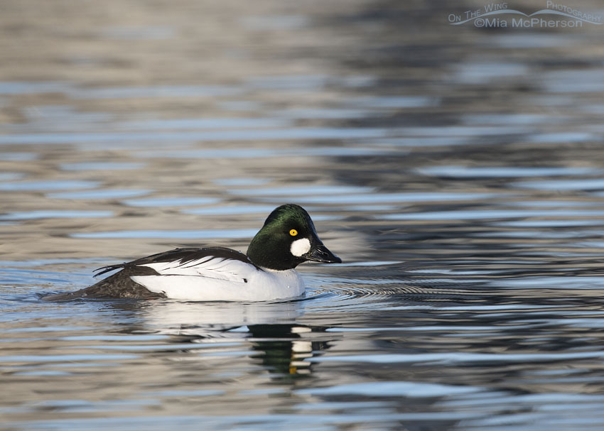 Drake Common Goldeneye gliding by on a winter day, Salt Lake County, Utah