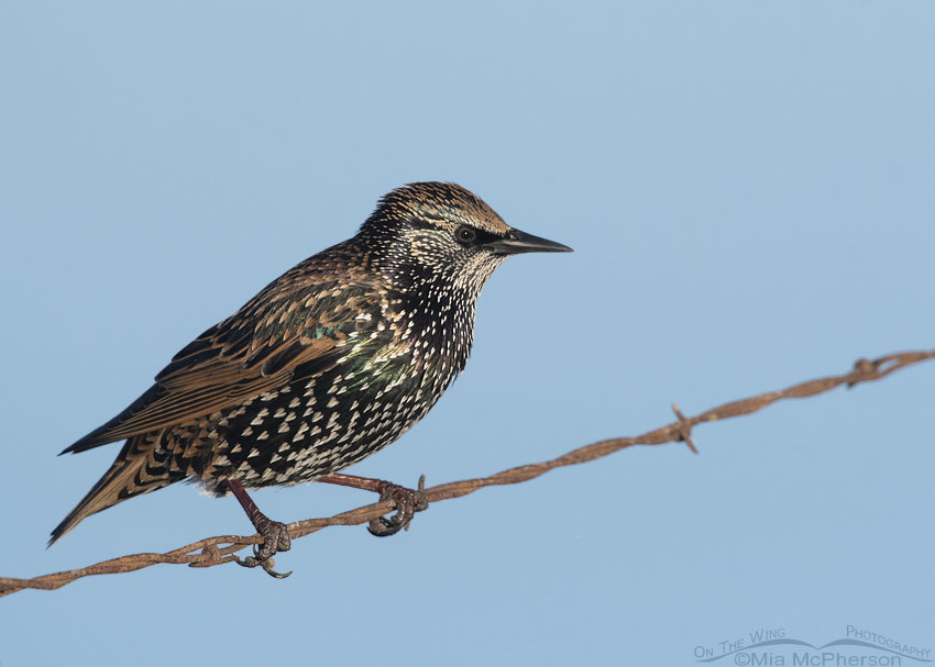 European Starling perched on rusty barbed wire, Farmington Bay WMA, Davis County, Utah
