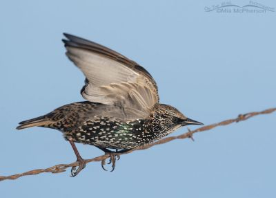 European Starling lifting off from rusty barbed wire fence, Farmington Bay WMA, Davis County, Utah