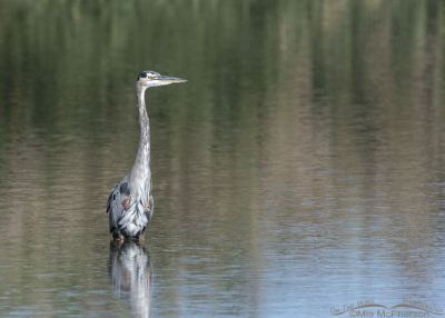 Great Blue Heron showing white feathers in the crown where is should be dark, Farmington Bay WMA, Davis County, Utah