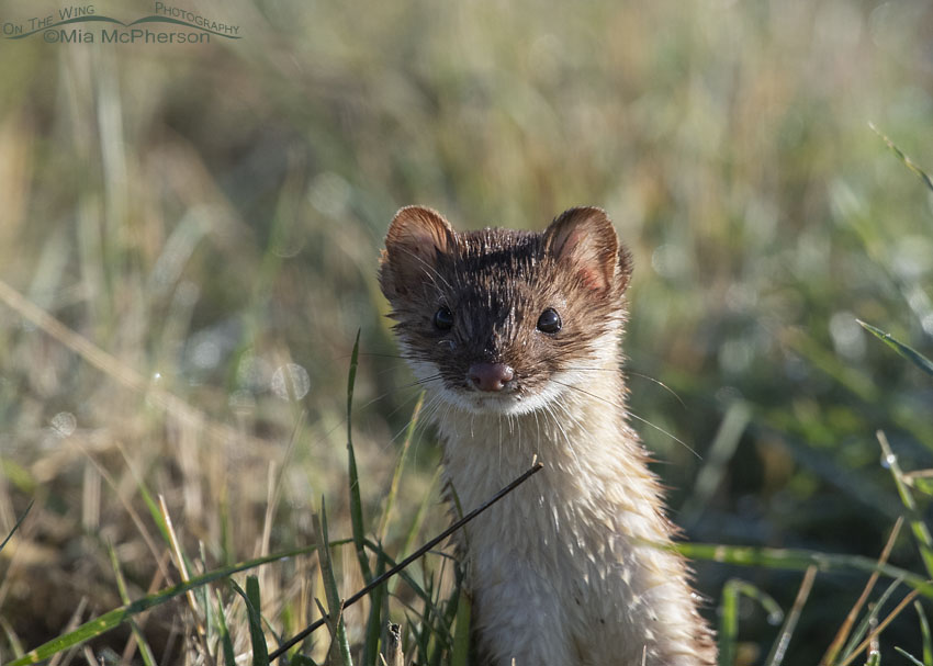 Curious Long-tailed Weasel close up in poor light, Farmington Bay Waterfowl Management Area, Davis County, Utah