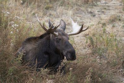 Bull Moose laying down, Wasatch Mountains, Morgan County, Utah