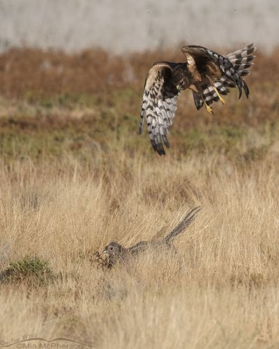 Female immature Northern Harrier dive bombing a Ring-necked Pheasant hen, Farmington Bay WMA, Davis County, Utah