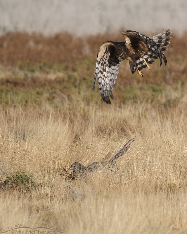Female immature Northern Harrier dive bombing a Ring-necked Pheasant hen, Farmington Bay WMA, Davis County, Utah