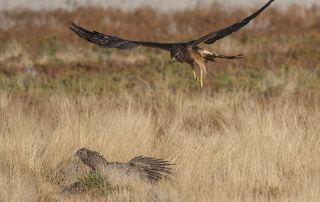 Immature Northern Harrier female hovering over a Ring-necked Pheasant hen, Farmington Bay WMA, Davis County, Utah