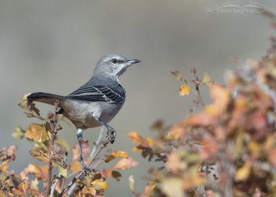 Northern Mockingbird and the colors of Autumn, Box Elder County, Utah