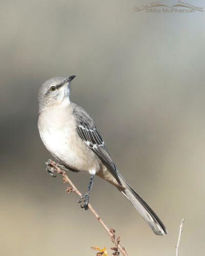 Northern Mockingbird in October, Box Elder County, Utah