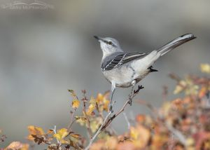 Northern Mockingbird in autumn Fragrant Sumac, Box Elder County, Utah