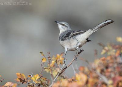 Northern Mockingbird in autumn Fragrant Sumac, Box Elder County, Utah
