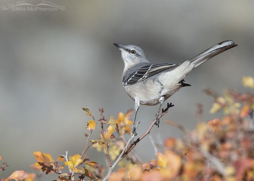 Northern Mockingbird in autumn Fragrant Sumac
