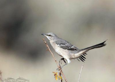 Northern Mockingbird moving up a twig, Box Elder County, Utah