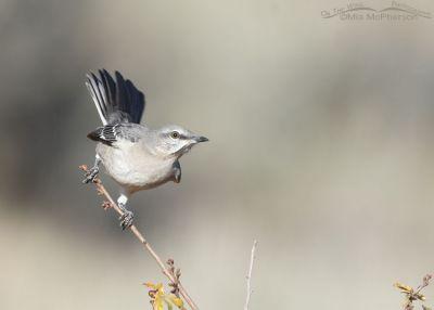 Alert Northern Mockingbird, Box Elder County, Utah