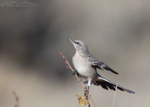 Northern Mockingbird about to lift off, Box Elder County, Utah