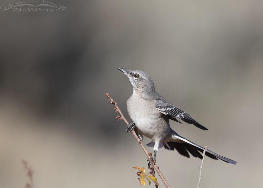 Northern Mockingbird about to lift off, Box Elder County, Utah