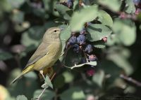 Orange-crowned Warbler foraging in the Wasatch Mountains, Morgan County, Utah