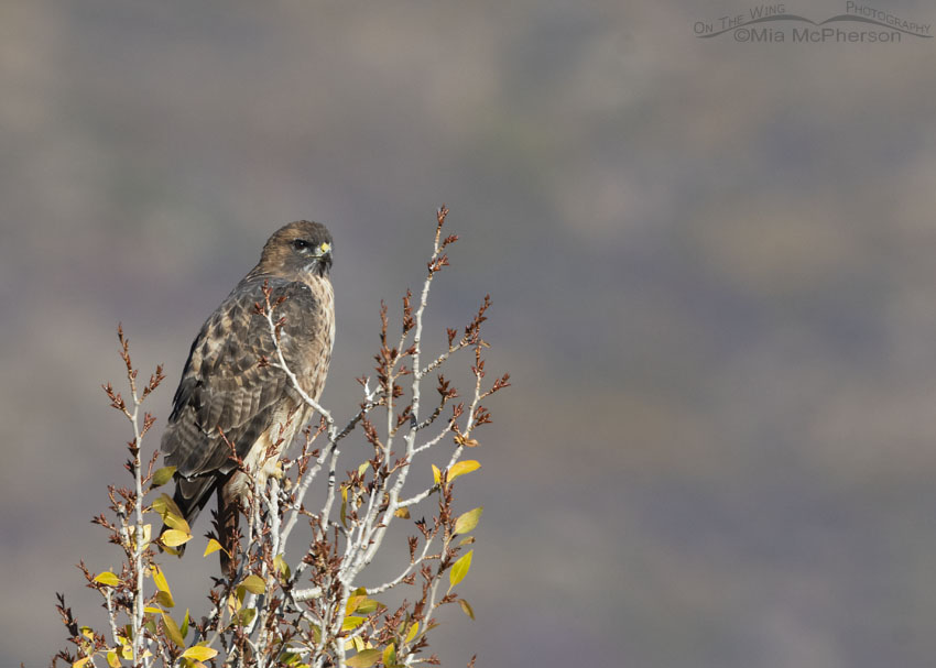 East Canyon Red-tailed Hawk adult, Wasatch Mountains, Morgan County, Utah