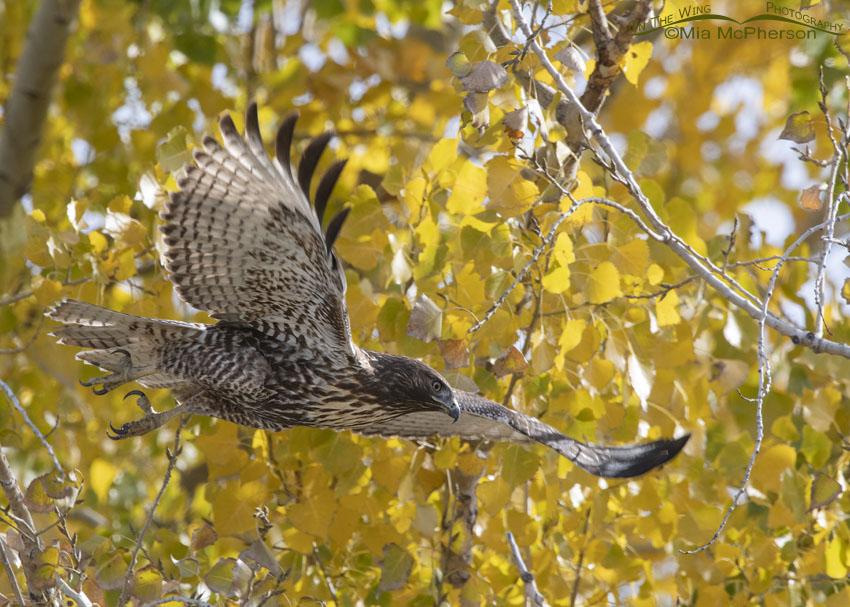 Autumn immature Red-tailed Hawk, Davis County, Utah