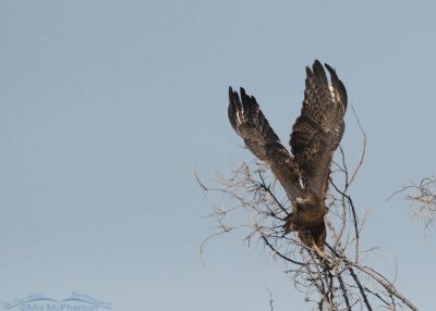 Sub-adult Red-tailed Hawk lift off, Bear River Migratory Bird Refuge, Box Elder County, Utah