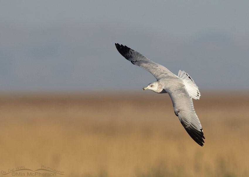 Ring-billed Gull flying over a freshwater marsh, Farmington Bay WMA, Davis County, Utah