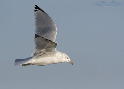 Ring-billed Gull hunting for food, Farmington Bay WMA, Davis County, Utah