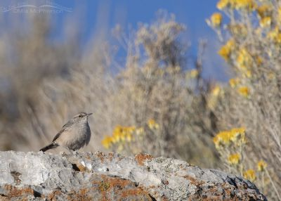 Rock Wren on a lichen covered rock, Box Elder County, Utah