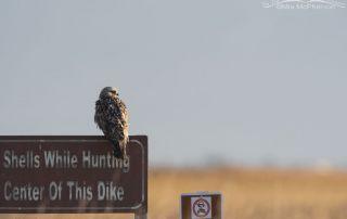 Second of Year Rough-legged Hawk, Bear River Migratory Bird Refuge, Box Elder County, Utah