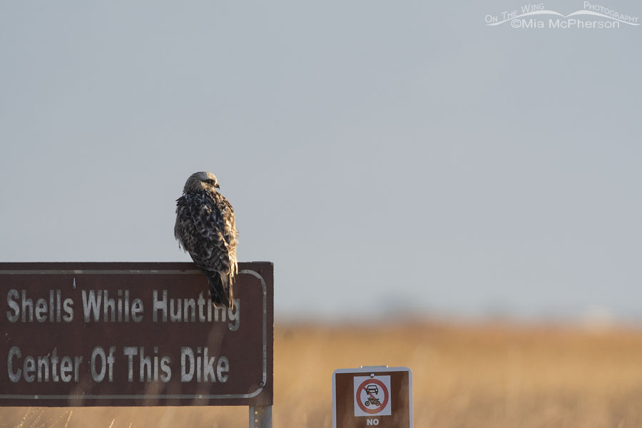 Second of Year Rough-legged Hawk, Bear River Migratory Bird Refuge, Box Elder County, Utah
