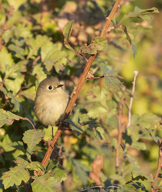 Ruby-crowned Kinglet in golden light, Box Elder County, Utah
