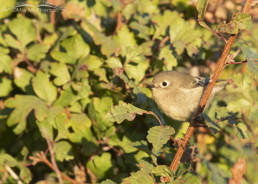 Ruby-crowned Kinglet perched in Fragrant Sumac, Box Elder County, Utah