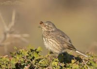 Sage Thrasher with Fragrant Sumac berry in mid air, Box Elder County, Utah