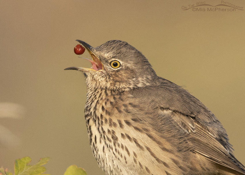 Close up of Sage Thrasher showing tongue, saliva and a Fragrant Sumac berry in mid air, Box Elder County, Utah