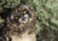 Bright Yellow Eyes of a Short-eared Owl chick, Box Elder County, Utah