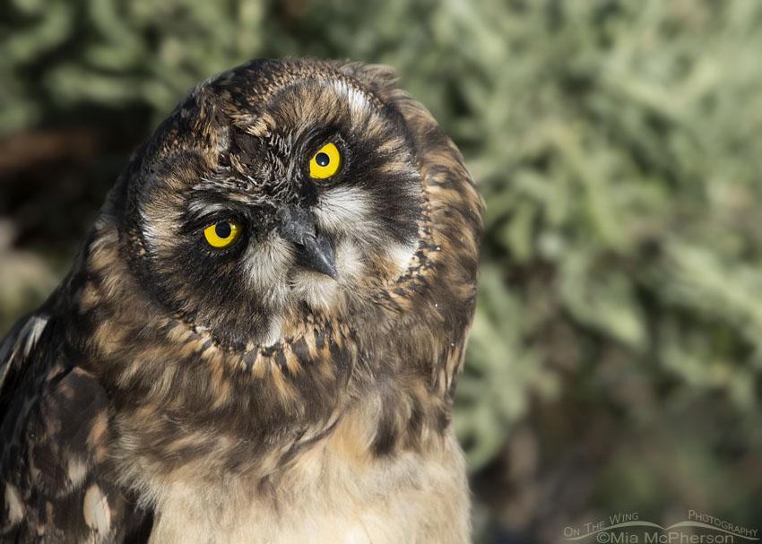 Bright Yellow Eyes of a Short-eared Owl chick, Box Elder County, Utah