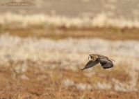 Short-eared Owl in flight over a marsh, Farmington Bay WMA, Davis County, Utah
