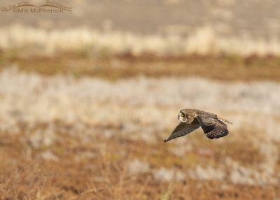 Short-eared Owl in flight over a marsh, Farmington Bay WMA, Davis County, Utah
