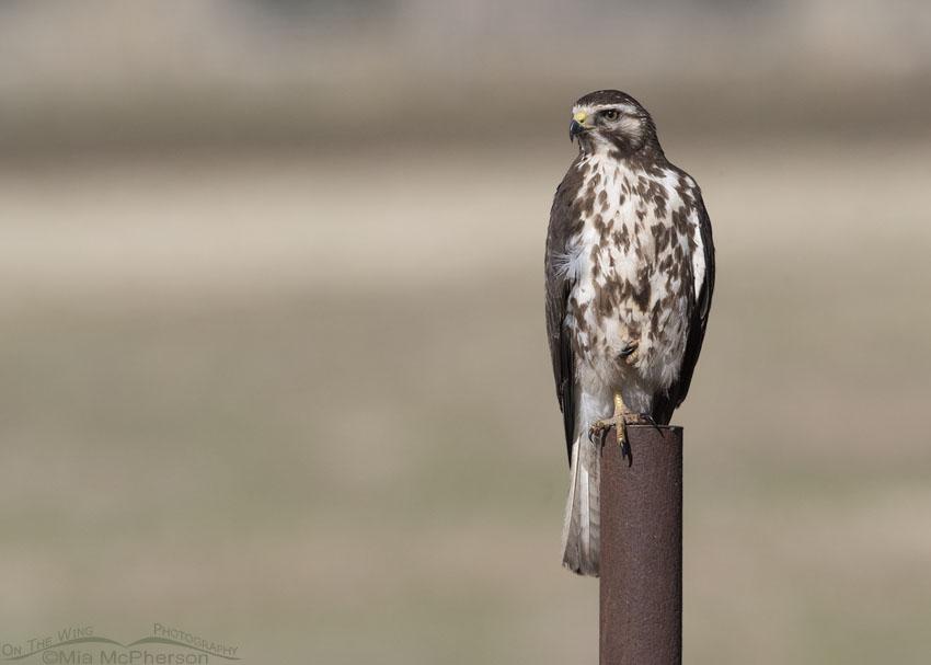 Sub-adult Swainson's Hawk perched on a rusty pole, Box Elder County, Utah