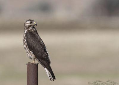 Sub-adult Swainson's Hawk looking over its back, Box Elder County, Utah
