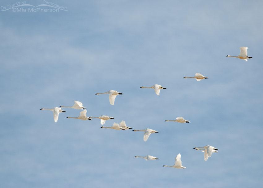 Flock of Tundra Swans in flight over a marsh, Farmington Bay WMA, Davis County, Utah