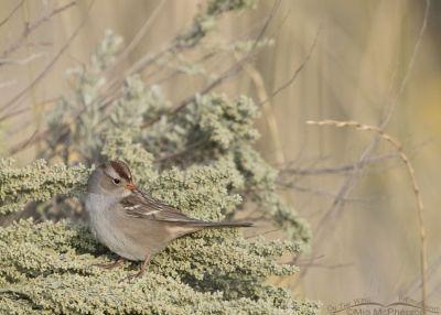 Immature White-crowned Sparrow resting in sage, Box Elder County, Utah