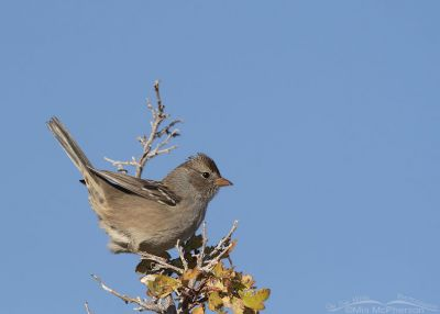 Immature White-crowned Sparrow in a perky pose, Box Elder County, Utah