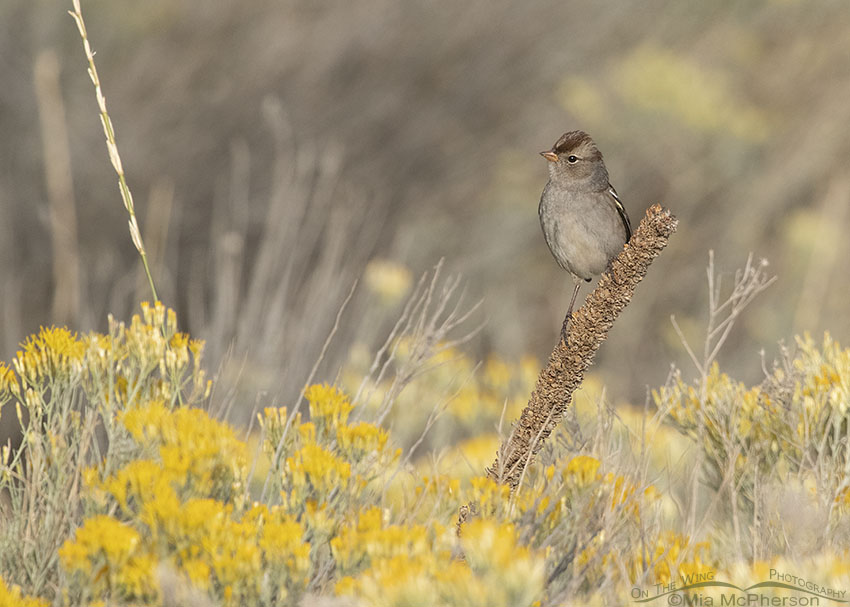 Immature White-crowned Sparrow with Mullein and Rabbitbrush, Box Elder County, Utah