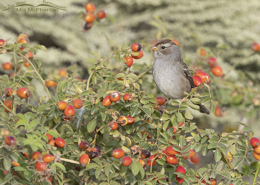 Young White-crowned Sparrow tucked into a Wild Rose, Box Elder County, Utah