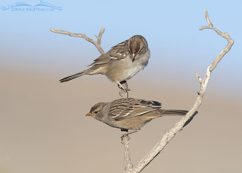 Pair of immature White-crowned Sparrows on a dead branch, Box Elder County, Utah