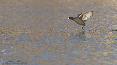 American Coot running on the water of a pond, Salt Lake County, Utah